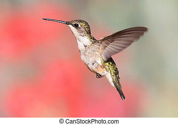 Ruby-throated Hummingbird In Flight - Juvenile Ruby-throated...