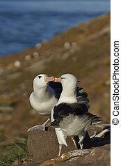 Black-browed Albatross courting - Pair of Black-browed...