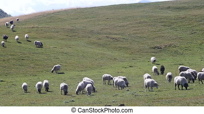 flock of sheep on green grass in Montenegro