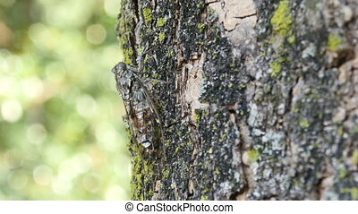 chirring cicada on tree close up, macro