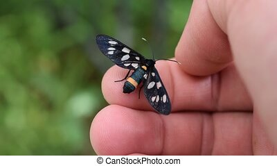 Nine-spotted moth butterfly on human hand - Nine-spotted...