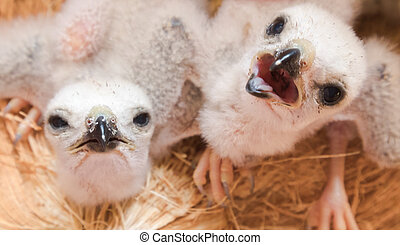 Two white baby bird, young falcon waiting food from mother,...