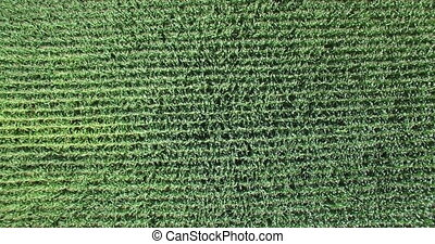 Aerial view of corn field in Montenegro