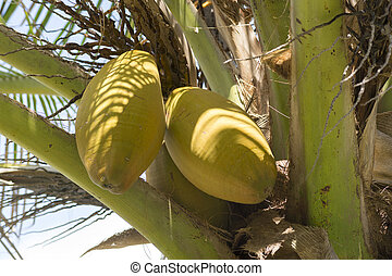 Yellow husk coconuts on coconut palm - Closeup of two yellow...