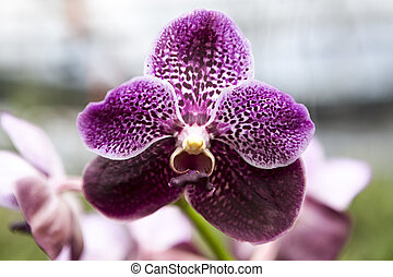 Beautiful purple orchid flower close-up.
