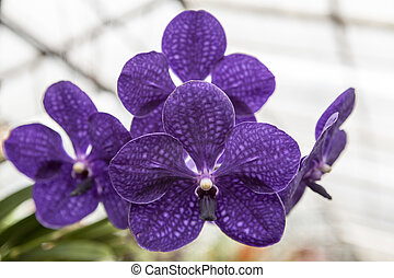 Three beautiful purple flower orchid on a branch close-up. -...