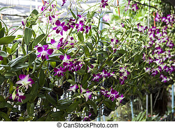 Orchid flowers on branches in a garden of orchids with a...