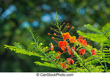 Caesalpinia Pulcherrima - Caesalpinia pulcherrima on green...