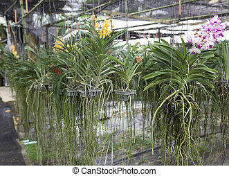 Two bush varieties of orchids DENDROBIUM and Cycnoches...