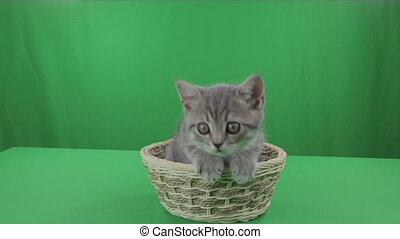 Beautiful little kitten Scottish Fold in basket on Green...