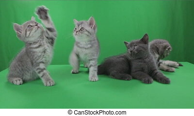 Beautiful little kittens Scottish Fold on Green Screen stock...