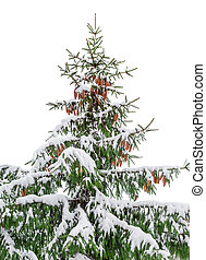 Spruce covered with snow on a light background