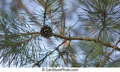 Beautiful pine branch with a bump on sunlight background.