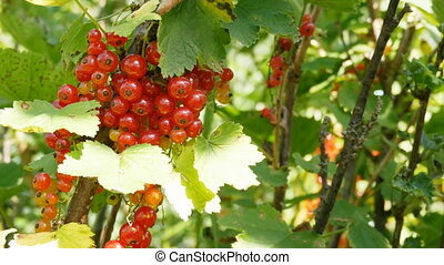 Organic red currants harvesting