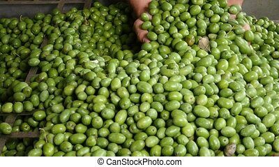 Green Olive for olive oil production - Fresh Harvested Green...