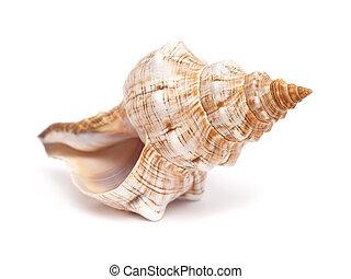 Pleuroploca trapezium, trapezium horse conch shell isolated...