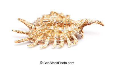 Lambis , spider conch shell isolated on white