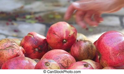 red pomegranates during harvest - red pomegranates on the...
