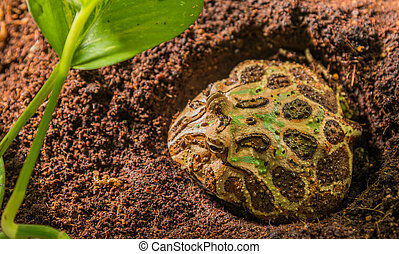 close up shot image of frog in habitat day time. - close up...