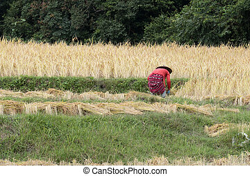 farmer harvesting rice in paddy field - Chiang Mai, Thailand...
