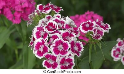 Flower carnation Turkish (Dianthus barbatus) blossoms in...