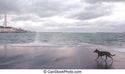 Dog near the sea surf - Dog dodging sea surf and drinking...