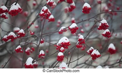 bunches of red mountain ash covered with snow camera in...
