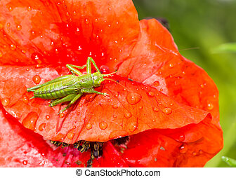 Green grasshopper sitting on a red poppy flower - Macro of a...
