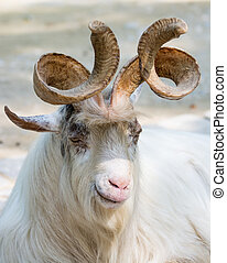 Portrait of a markhor goat - Portrait of a white markhor...