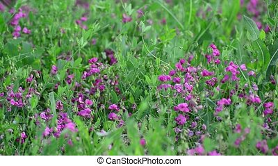 Pink wild flowers in meadow in Russia - Pink wild flowers in...