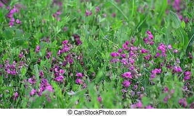 Pink wild flowers in meadow in Russia