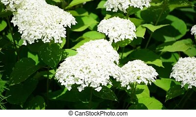 White hydrangea blooms profusely in garden