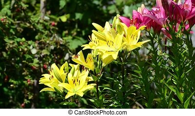 Many yellow and pink lilies bloom in flowerbed - Many yellow...