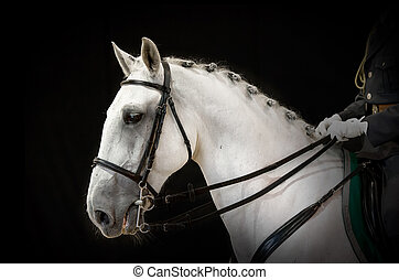portrait of gray dressage horse on black