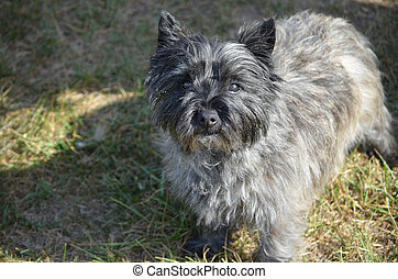 Adorable Cairn Terrier Dog - Sweet black cairn terrier dog...