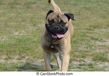 Bullmastiff Dog with His Tongue Hanging Out