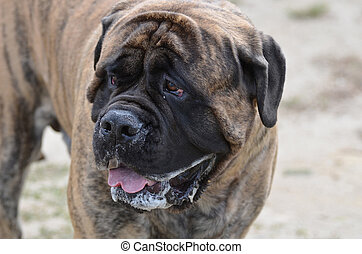 Gorgeous Bullmastiff with a Little Drool
