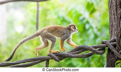 Squirrel monkey in natural habitat, rain forest and jungle,...