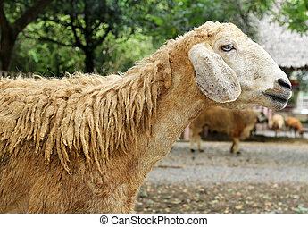 sheep, natur