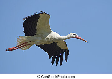 White stork (Ciconia ciconia) - White stork in flight with...