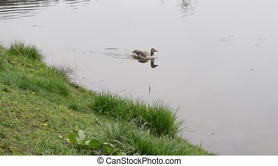 Adult goose swims in pond in summer - One adult goose swims...