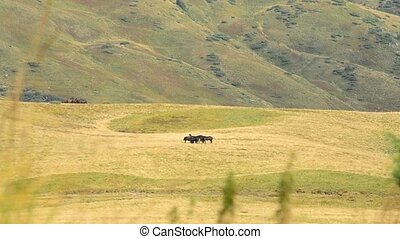 Several black horses far off in mountains