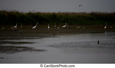 White and grey herons on wetlands - Many great white herons...