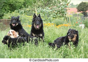 Bohemian shepherds together in the garden - Amazing Bohemian...