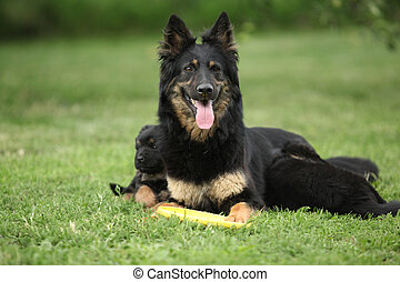 Beautiful bitch of Bohemian Shepherd with its puppies in the...
