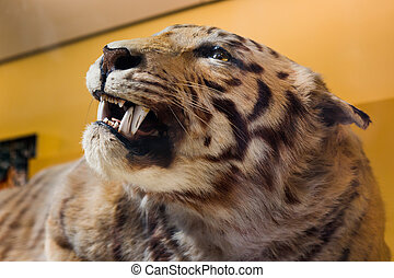 Tiger taxidermy. - View of the head of a Tiger taxidermy.