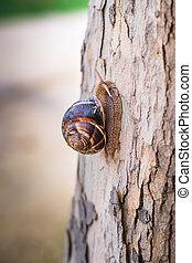 Burgundi snail or Escargot, Helix pomatia on tree, macro...