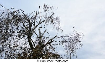Branches in wind - Wind moves the birch tree branches. The...