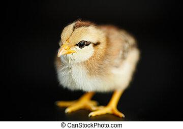 beautiful little yellow chick