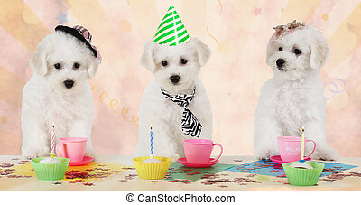 Puppies at the party - Three Bichon Frise puppies celebrate...